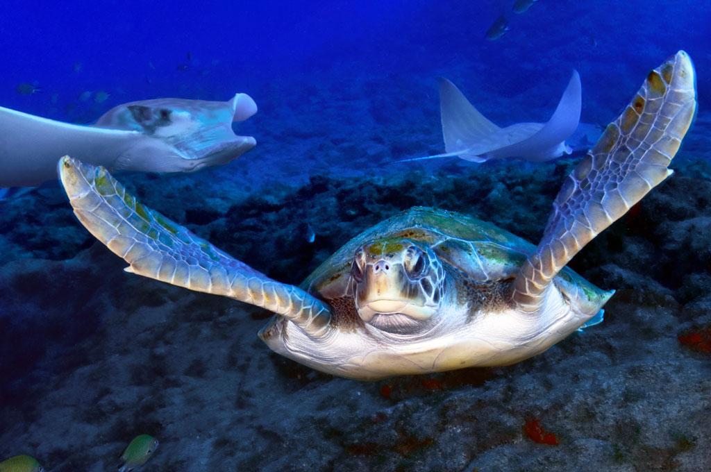 Tortuga verde de frente y rayas obispo de fondo con fotografia submarina durante un buceo en Tenerife Sur Las Galletas